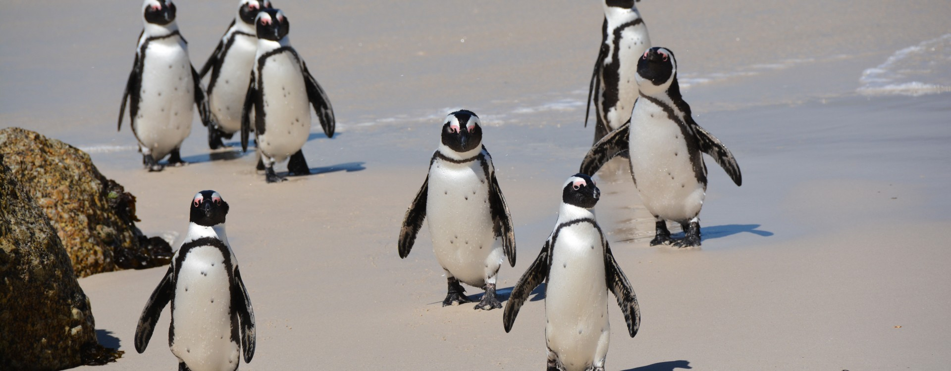 African Penguins on Boulders Beach, Cape Town