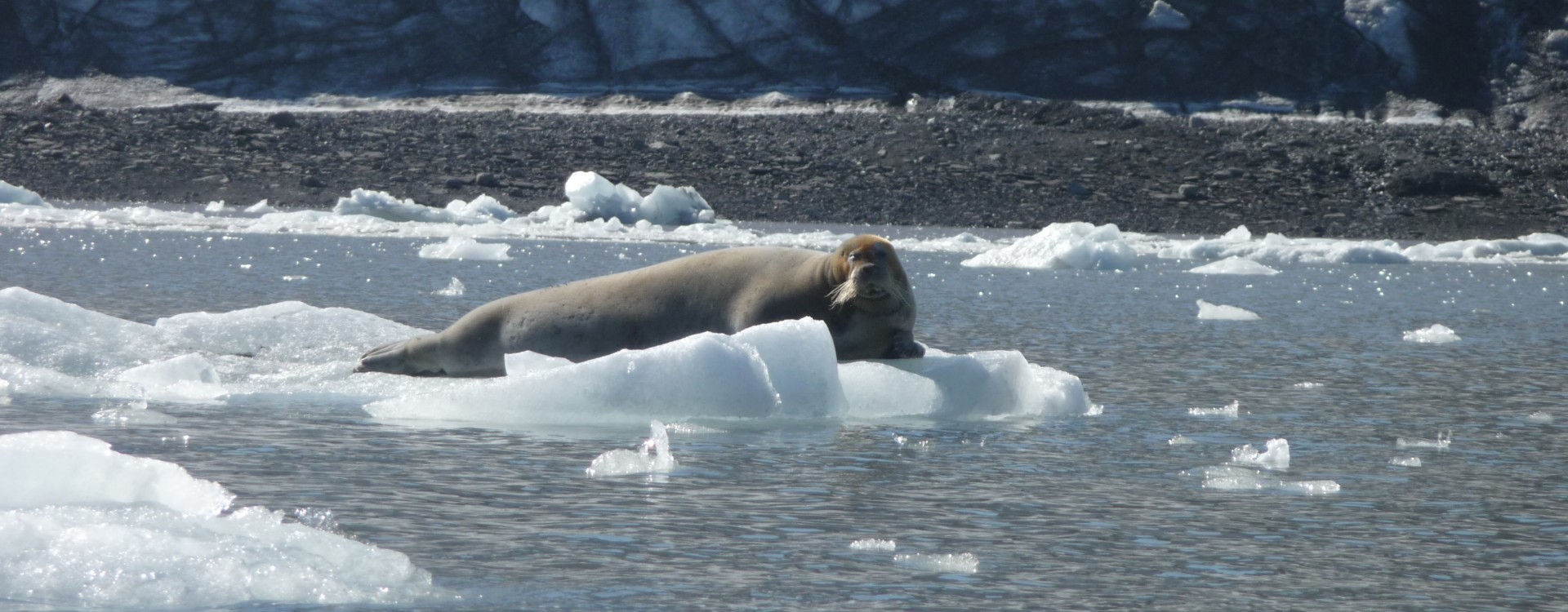 A Bearded Seal!
