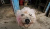 Dewali dyed dog at Taplejung